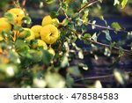 Quince Bush.fruiting Quince...