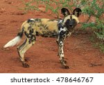 Alert African Wild Dog Posing...