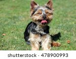 cute yorkshire terrier sitting... | Shutterstock . vector #478900993