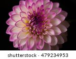 Close Up Of A Dahlia On Black...