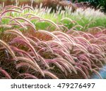 Small photo of Beautiful purple and white Fountain Grasses field (or Pennisetum Advena Rubrum, Feather grasses, Mission Grasses, Pennisetum Pedicellatum) with nature blurred background