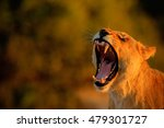 Lion Female With Open Muzzle...