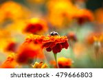 bumblebee sitting on a bright... | Shutterstock . vector #479666803