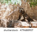 Small photo of Syrian bear - Ursus arctossyriacus - resting in the shadow of the day