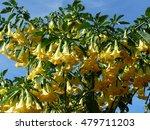 Yellow Brugmansia X Candida F....