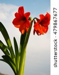Small photo of Magnificent Amaryllis flowers