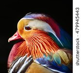 portrait of mandarin duck over... | Shutterstock . vector #479945443