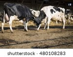 Two Dairy Cows On The Farm