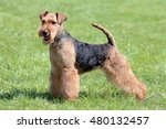Typical Welsh Terrier  In The...