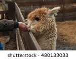Friendly Alpaca In A Farm
