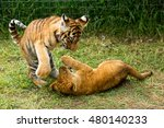 Young Lion Playing  With Tiger...