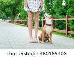 Stock photo dog on a leash looking up and listening to her owner 480189403