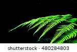Fern Plant In Black Background