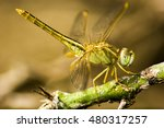 colorful dragonflies in the wild | Shutterstock . vector #480317257