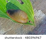 Small photo of Shell-less air-breathing terrestrial gastropod mollusc land slug on green leaf close up macro.