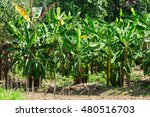 banana tree with a bunch of... | Shutterstock . vector #480516703