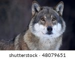 Closeup Of A Grey Wolf  Canis...