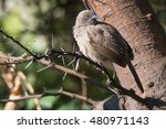 Small photo of An arrow marked babbler perched in a thorn tree