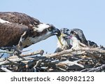 Adult Osprey Feeding Chicks
