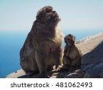 Barbary Macaque Of Gibralter ...