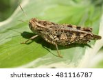 acrididae on the sheet hosts | Shutterstock . vector #481116787