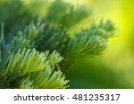 Small photo of Closeup of red fir (Abies magnifica) needles against a blurred green background