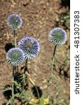Small photo of Echinops ritro is a clump-forming, 4-foot tall plant with golf ball sized blue flower heads atop stiff, rigid stems clad with deeply lobed, dark green, thistle-like foliage.