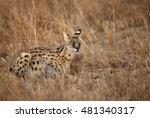 Beautiful Serval Wild Cat...