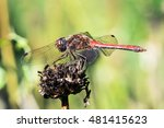 Red Dragonfly Sitting On A...
