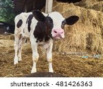 Baby Cow In Farm