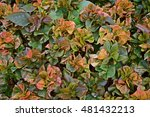 Small photo of Acalypha wilkesiana, Painted Copper Leaf, texture of evergreen shrub