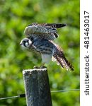Small photo of American Kestrel perched on a fence post