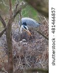 Small photo of Great Blue Heron and chicks ion the nest