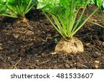 Sugar Beet Root In Ground ...