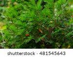 taxus baccata l.  armenia   Shutterstock . vector #481545643