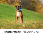 German Boxer Dog Standing...