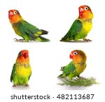 Set lovebird isolated on white...