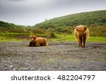 Highland Coo  Scotland Cow  In...