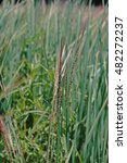 Small photo of weed in rice field;wild rice;weedy rice
