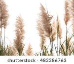 Pampas Grass  Feathers  Autumn