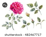 Stock vector vector watercolor illustration of a set of rose leaves and buds isolated object bright pink rose 482467717