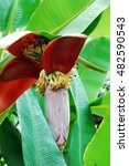 Small photo of Flower of Manila abaca/ Flower of banana