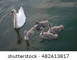 An Adult Swan And Four Swan...