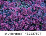 Sedum Purple Flowers Closeup...