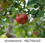 picture of an apples on tree... | Shutterstock . vector #482706163