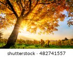gold tree on a vineyard with... | Shutterstock . vector #482741557