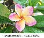 plumeria set. tropical exotic... | Shutterstock . vector #483115843