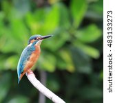 Small photo of Beautiful blue Kingfisher bird on a branch. (Alcedo atthis)