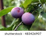 Plums On A Branch. Photo...