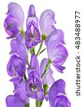 Small photo of Bright flower Aconitum, photographed close-up. Isolated on white background.